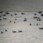 Лиски и червеноклюни потапници (в средата), яз. Йовковци